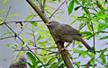 Jungle babbler7.jpg