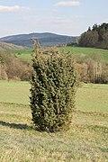 Juniperus communis TK 2021-04-27 1.jpg