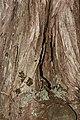 Juniperus maritima 3216.JPG