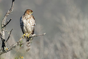 English: Juvenile Cooper's hawk (Accipiter coo...