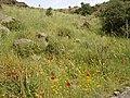 Körfezköy sırtlarında gelincik - panoramio.jpg