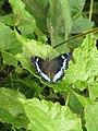 Kaniska canace viridis Evans, 1924 – Sahyadri Blue Admiral from Maloor, Peravoor (14).jpg