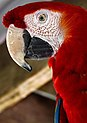 Karunda Scarlet Macaw-3 (8242704864).jpg