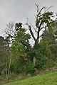 Kastanienbaum bei Tisens Kastelruth.jpg