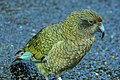 Kea at Milford Sound - panoramio.jpg
