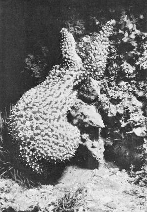 Avoidance response - Image: Kelletia kelletii and Pisaster giganteus 2