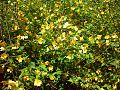 Kerria japonica RB.jpg