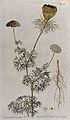 Khella (Ammi visnaga (L.) Lam.); flowering and fruiting stem Wellcome V0042938.jpg