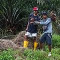 Kimanis Sabah Workers-in-Palm-Oil-Plantation-02.jpg