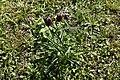 Kirjava pikarililja - Fritillaria meleagris IMG 3243 C.JPG