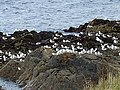 Kittiwakes on the rocks - geograph.org.uk - 947404.jpg