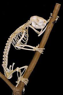 Squelette de koala accroché à une branche morte