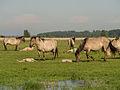 Konikpaarden met veulens in het Lauwersmeer gebied.jpg