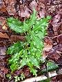 Korina 2011-07-04 Ilex aquifolium.jpg