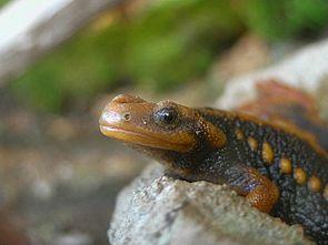 Geknöpfter Birma-Krokodilmolch (Tylototriton verrucosus)
