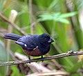 Kurioo (curió en la portugala lingvo - Sporophila angolensis) estas birdo de la familio Thrupidae, origina el Brazilo kaj tre ŝatata pro ĝia kanto.jpg