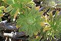 La Palma - Villa de Mazo - Camino Monte de Pueblo - Molino de Mazo - Garden 09 ies.jpg