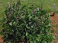 Lablab purpureus plant Tac cropped2 (10354916125).jpg