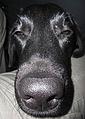 Labrador-nos 0739.jpg