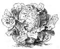 Laitue de Malte Vilmorin-Andrieux 1883.png