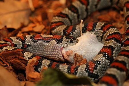 Lampropeltis Mexicana Greeri snake in private collection of Jakub Seif. Feeding