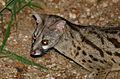 Large-spotted Genet (Genetta tigrina) (17354702372).jpg
