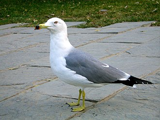 Black-tailed gull - Image: Laridae in Beijing Zoo
