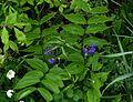 Lathyrus vernus atrocyaneus - Flickr - peganum (1).jpg