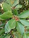 Laurus nobilis - δάφνη η ευγενής.jpg