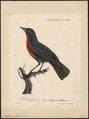 Leïstes militaris - 1825-1834 - Print - Iconographia Zoologica - Special Collections University of Amsterdam - UBA01 IZ15800259.tif
