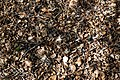 Leaf litter in Epping Forest off Fairmead Road, High Beach, Essex, England.jpg