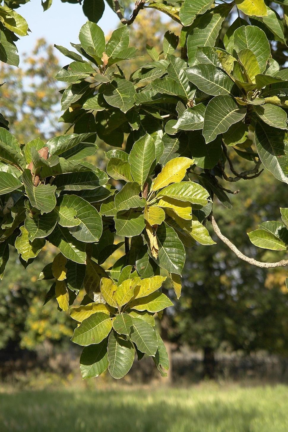 Leaves of Madhuca longifolia, Umaria district, MP, India
