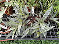 Ledebouria socialis - Lyman Plant House, Smith College - DSC04219.JPG