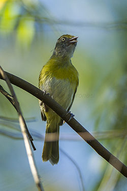 Lemon-chested Greenlet - REGUA - Brazil S4E0910 (12929656945).jpg