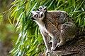 Lemur (35779539954).jpg