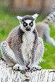 Lemur (36697551385).jpg