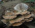 Lenzites betulina (L.) Fr 272952.jpg