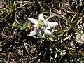 Leontopodium alpinum Pyrenees2.jpg