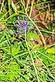 Leopoldia comosa in Causse Comtal (3).jpg