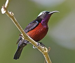 Leptocoma brasiliana (male) -Singapore-8.jpg