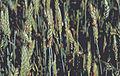 Les Plantes Cultivades. Cereals. Imatge 1841.jpg