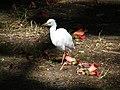 Les oiseaux d'Egypte - panoramio - youssef alam (14).jpg