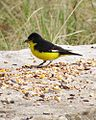 Lesser Goldfinch (13894618587).jpg