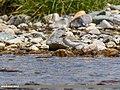 Lesser Sand Plover (Charadrius mongolus) (27859773359).jpg