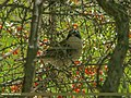 Lesser Whitethroat (Sylvia curruca) (23534796971).jpg