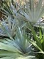 Leucothrinax morrisii at Port St. Lucie Botanical Garden 02.jpg