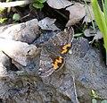 Light Orange Underwing - Archiearis (Boudinotiana) notha. (33792498195).jpg