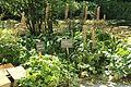 Ligularia en fleurs dans le Jardin Botanique du Clos Lucé.JPG