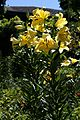 Lilium Golden Splendour1.jpg
