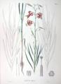 Lilium callosum SZ41.png